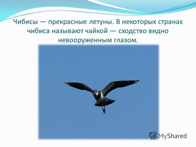 Чибисы прекрасные летуны. В некоторых странах чибиса называют чайкой сходство видно невооруженным глазом.