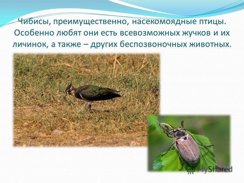 Чибисы, преимущественно, насекомоядные птицы. Особенно любят они есть всевозможных жучков и их личинок, а также – других беспозвоночных животных.