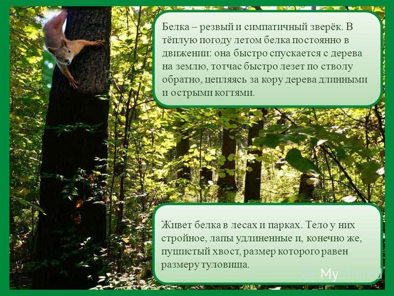 Живет белка в лесах и парках. Тело у них стройное, лапы удлиненные и, конечно же, пушистый хвост, размер которого равен размеру туловища. Белка – резвый и симпатичный зверёк. В тёплую погоду летом белка постоянно в движении: она быстро спускается с д