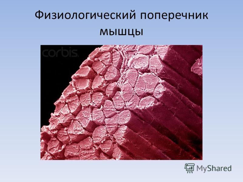 Физиологический поперечник мышцы