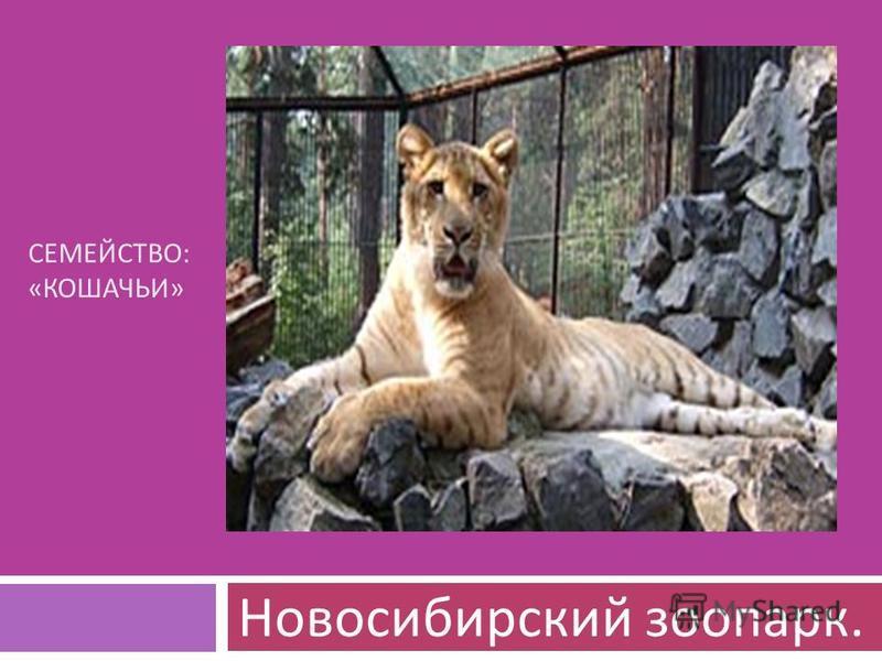 СЕМЕЙСТВО : « КОШАЧЬИ » Новосибирский зоопарк.
