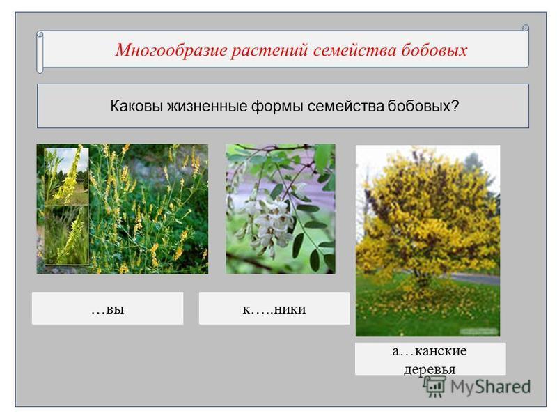 Каковы жизненные формы семейства бобновых? Многообразие …..нии …..ства …нновые Многообразие растении семейства бобновых …вик…..ники а…канские деревья
