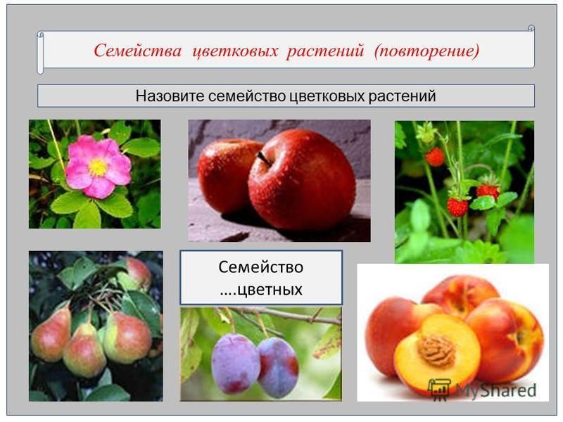 Назовите семейство цветкновых растении Семейства цветкновых растении (повторенее) Семейство ….цветных