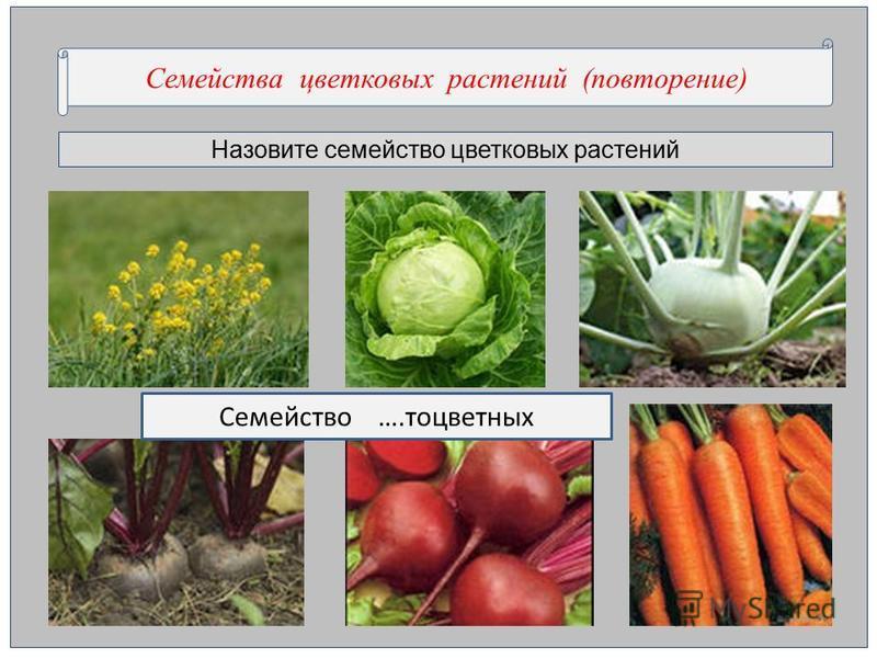 Назовите семейство цветкновых растении Семейства цветкновых растении (повторенее) Семейство ….то цветных