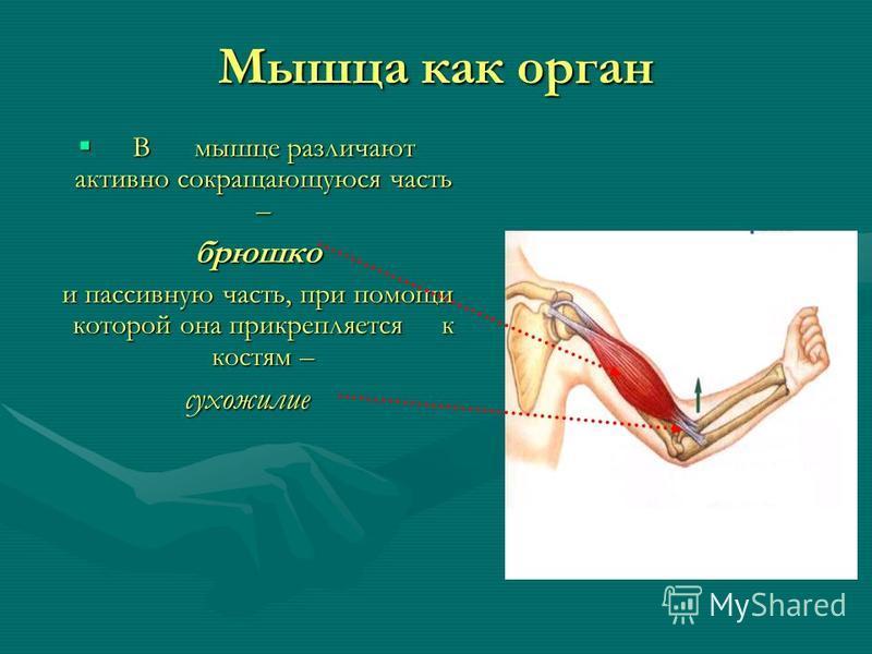 Мышца как орган В мышце различают активно сокращающуюся часть – В мышце различают активно сокращающуюся часть – брюшко брюшко и пассивную часть, при помощи которой она прикрепляется к костям – и пассивную часть, при помощи которой она прикрепляется к