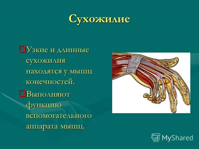 Сухожилие Узкие и длинные сухожилия находятся у мышц конечностей. Узкие и длинные сухожилия находятся у мышц конечностей. Выполняют функцию вспомогательного аппарата мышц. Выполняют функцию вспомогательного аппарата мышц.