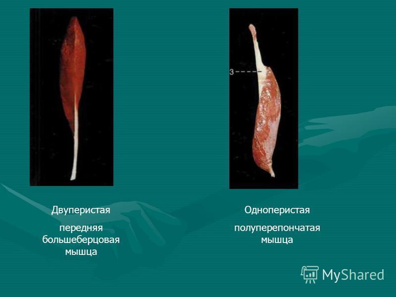 Двуперистая передняя большеберцовая мышца Одноперистая полуперепончатая мышца