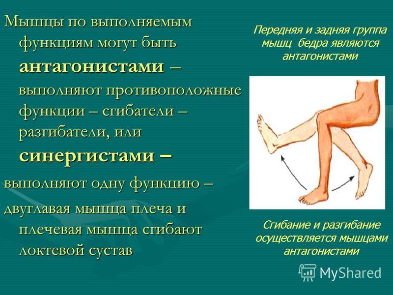 Мышцы по выполняемым функциям могут быть антагонистами – выполняют противоположные функции – сгибатели – разгибатели, или синергистами – выполняют одну функцию – двуглавая мышца плеча и плечевая мышца сгибают локтевой сустав Передняя и задняя группа