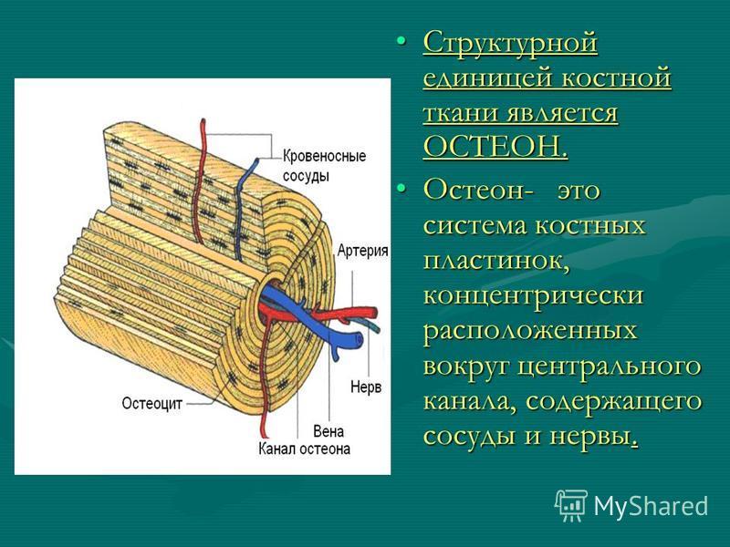 Структурной единицей костной ткани является ОСТЕОН. Остеон- это система костных пластинок, концентрически расположенных вокруг центрального канала, содержащего сосуды и нервы.