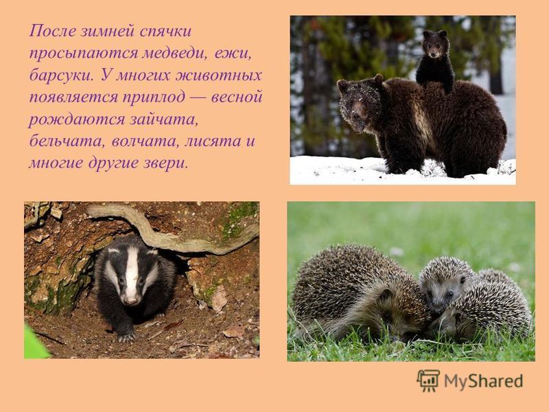 После зимней спячки просыпаются медведи, ежи, барсуки. У многих животных появляется приплод весной рождаются зайчата, бельчата, волчата, лисята и многие другие звери.