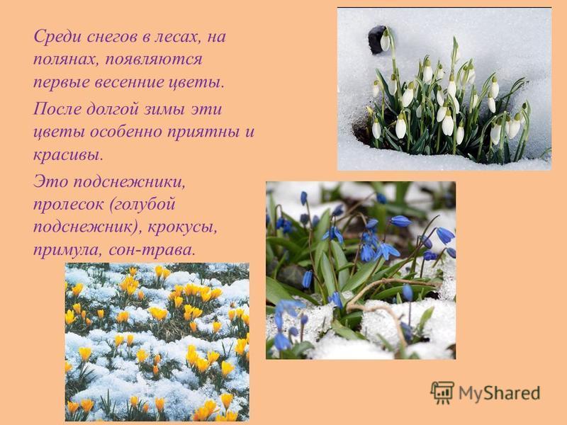 Среди снегов в лесах, на полянах, появляются первые весенние цветы. После долгой зимы эти цветы особенно приятны и красивы. Это подснежники, пролесок (голубой подснежник), крокусы, примула, сон-трава.