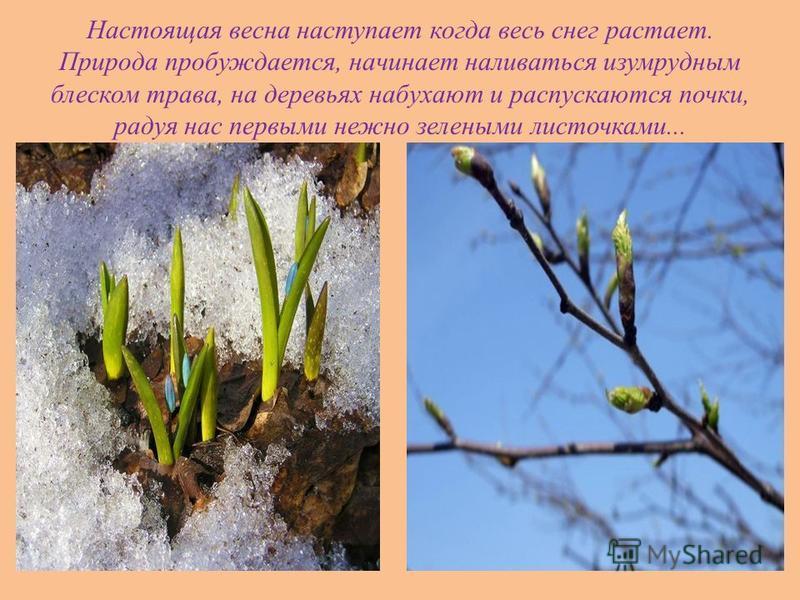 Настоящая весна наступает когда весь снег растает. Природа пробуждается, начинает наливаться изумрудным блеском трава, на деревьях набухают и распускаются почки, радуя нас первыми нежно зелеными листочками...