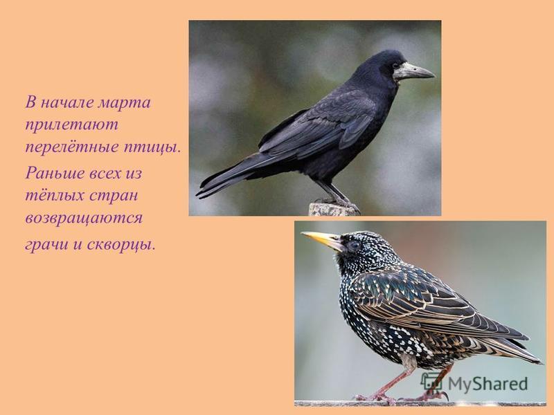 В начале марта прилетают перелётные птицы. Раньше всех из тёплых стран возвращаются грачи и скворцы.