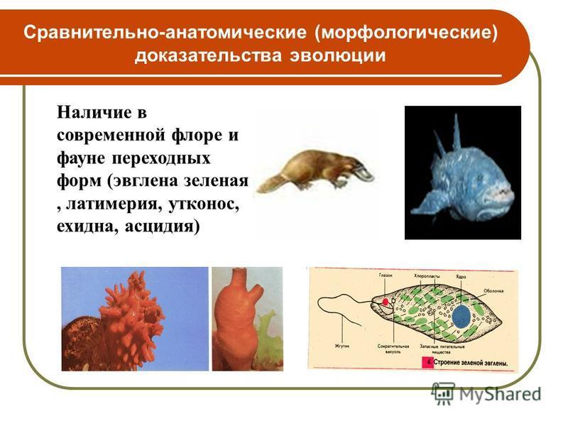 Сравнительно-анатомические (морфологические) доказательства эволюции Наличие в современной флоре и фауне переходных форм (эвглена зеленая, латимерия, утконос, ехидна, асцидия)