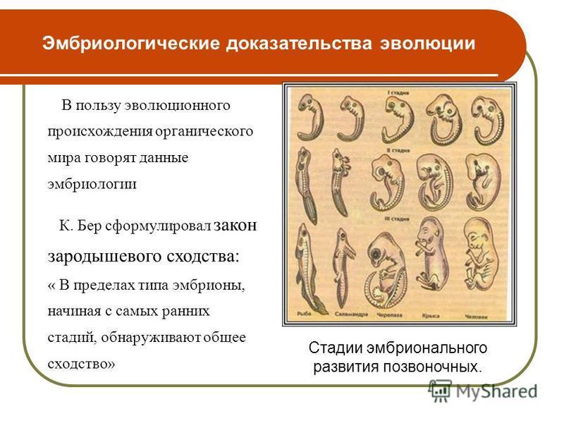 Эмбриологические доказательства эволюции В пользу эволюционного происхождения органического мира говорят данные эмбриологии К. Бер сформулировал закон зародышевого сходства: « В пределах типа эмбрионы, начиная с самых ранних стадий, обнаруживают обще