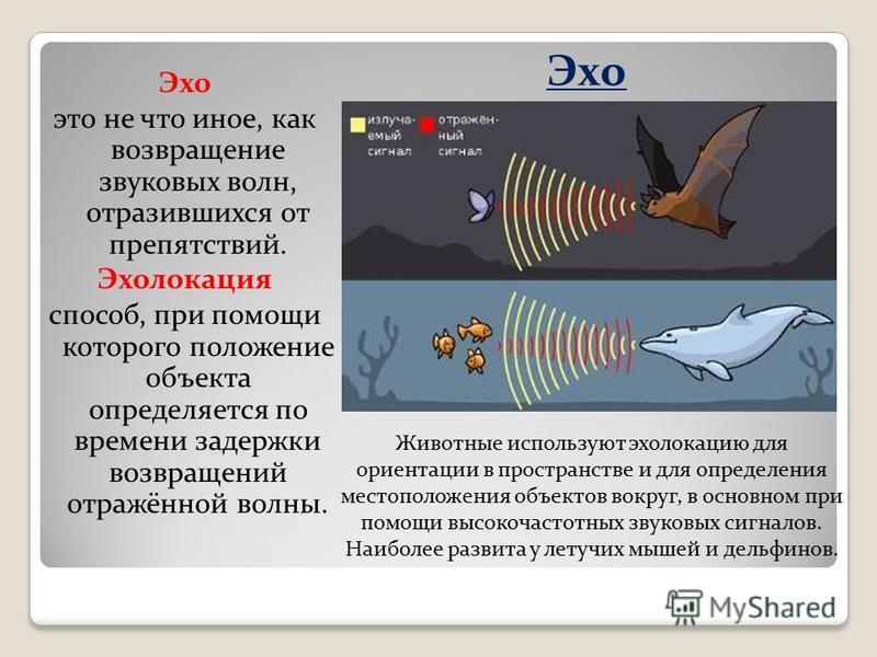 Эхо это не что иное, как возвращение звуковых волн, отразившихся от препятствий. Эхолокация способ, при помощи которого положение объекта определяется по времени задержки возвращений отражённой волны. Животные используют эхолокацию для ориентации в п