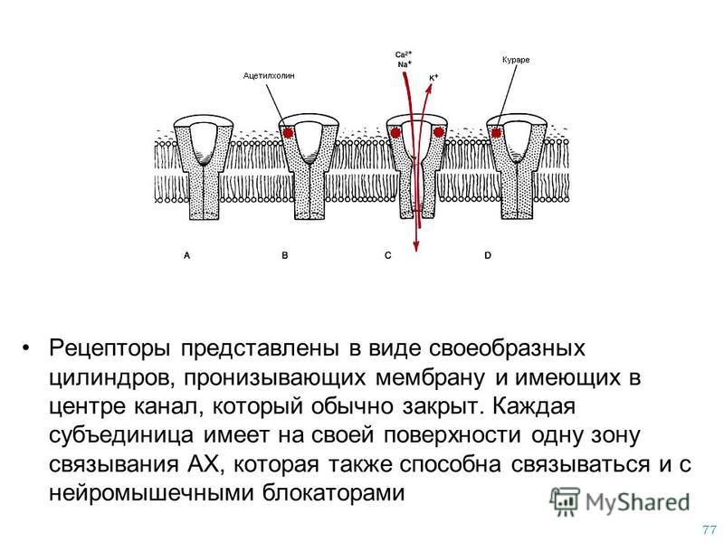 77 Рецепторы представлены в виде своеобразных цилиндров, пронизывающих мембрану и имеющих в центре канал, который обычно закрыт. Каждая субъединица имеет на своей поверхности одну зону связывания АХ, которая также способна связываться и с нейромышечн
