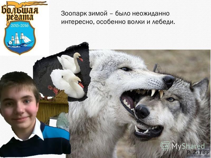 Зоопарк зимой – было неожиданно интересно, особенно волки и лебеди.