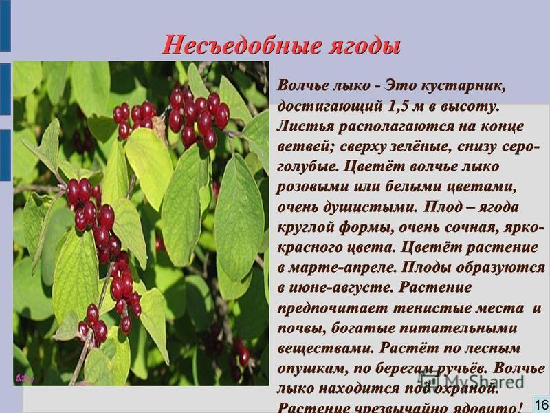 16 Несъедобные ягоды Волчье лыко - Это кустарник, достигающий 1,5 м в высоту. Листья располагаются на конце ветвей; сверху зелёные, снизу серо- голубые. Цветёт волчье лыко розовыми или белыми цветами, очень душистыми. Плод – ягода круглой формы, очен