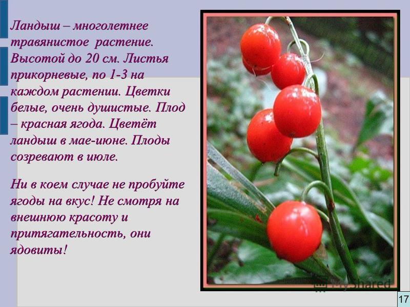 17 Ландыш – многолетнее травянистое растение. Высотой до 20 см. Листья прикорневые, по 1-3 на каждом растении. Цветки белые, очень душистые. Плод – красная ягода. Цветёт ландыш в мае-июне. Плоды созревают в июле. Ни в коем случае не пробуйте ягоды на
