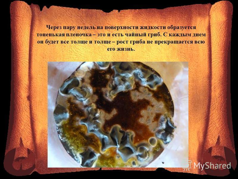 Через пару недель на поверхности жидкости образуется тоненькая пленочка – это и есть чайный гриб. С каждым днем он будет все толще и толще – рост гриба не прекращается всю его жизнь.