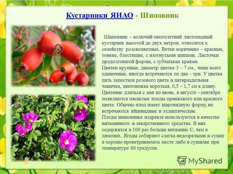 Шиповник – колючий многолетний листопадный кустарник высотой до двух метров, относится к семейству розоцветных. Ветки коричнево – красные, тонкие, блестящие, с изогнутыми шипами. Листочки продолговатой формы, с зубчатыми краями. Цветки крупные, диаме
