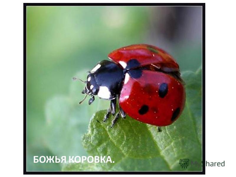 БОЖЬЯ КОРОВКА.