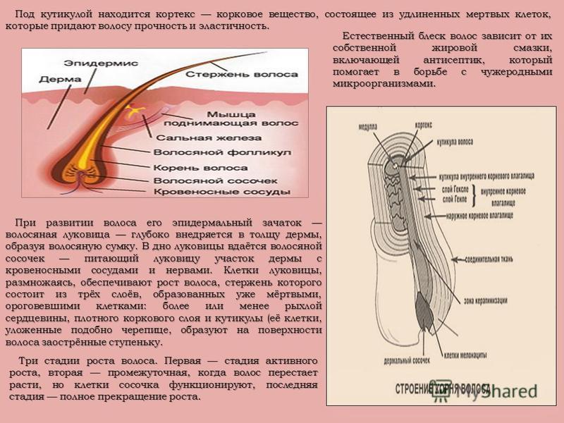 Под кутикулой находится кортекс корковое вещество, состоящее из удлиненных мертвых клеток, которые придают волосу прочность и эластичность. Под кутикулой находится кортекс корковое вещество, состоящее из удлиненных мертвых клеток, которые придают вол
