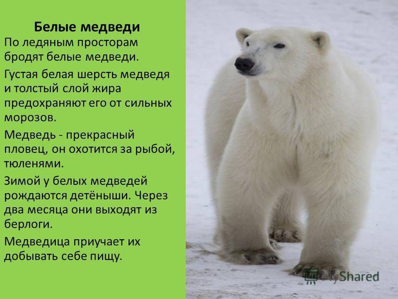 Белые медведи По ледяным просторам бродят белые медведи. Густая белая шерсть медведя и толстый слой жира предохраняют его от сильных морозов. Медведь - прекрасный пловец, он охотится за рыбой, тюленями. Зимой у белых медведей рождаются детёныши. Чере