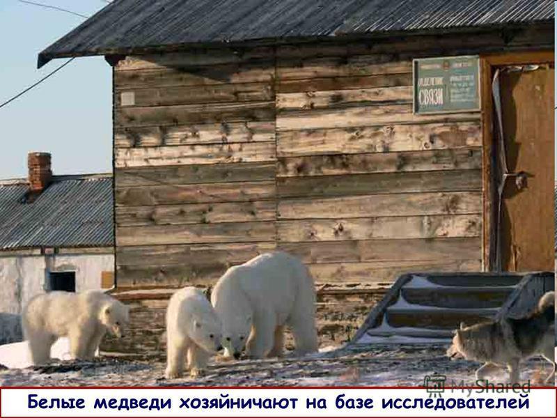 Белые медведи хозяйничают на базе исследователей