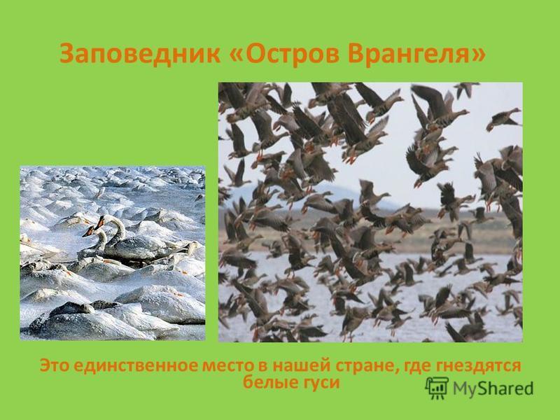 Заповедник «Остров Врангеля» Это единственное место в нашей стране, где гнездятся белые гуси