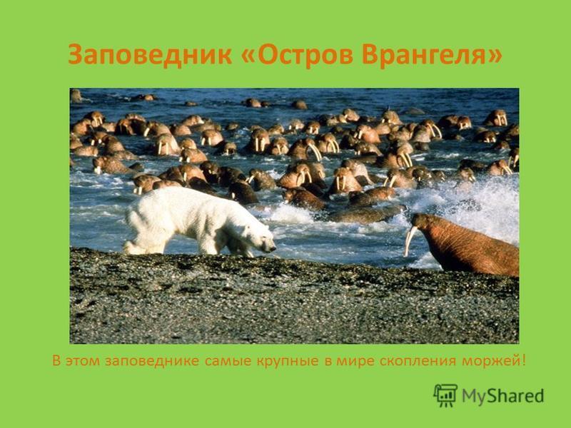 Заповедник «Остров Врангеля» В этом заповеднике самые крупные в мире скопления моржей!