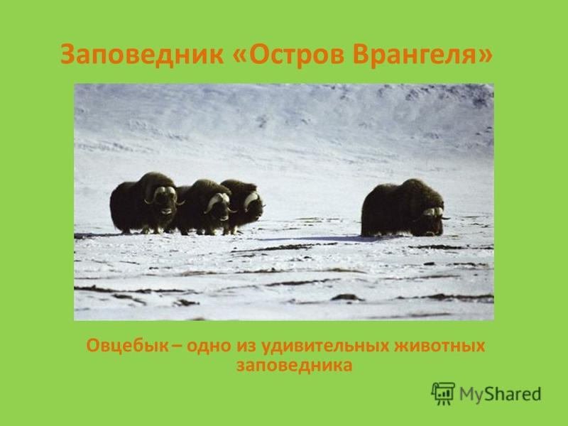 Заповедник «Остров Врангеля» Овцебык – одно из удивительных животных заповедника