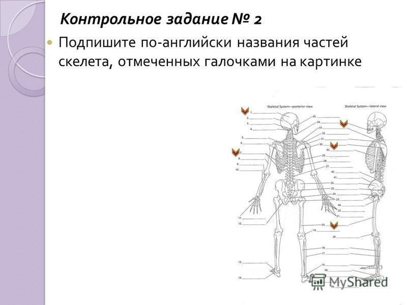 Контрольное задание 2 Подпишите по - английски названия частей скелета, отмеченных галочками на картинке