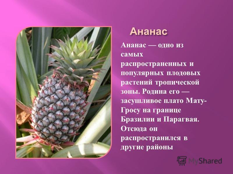 Ананас Ананас одно из самых распространенных и популярных плодовых растений тропической зоны. Родина его засушливое плато Мату - Гросу на границе Бразилии и Парагвая. Отсюда он распространился в другие районы