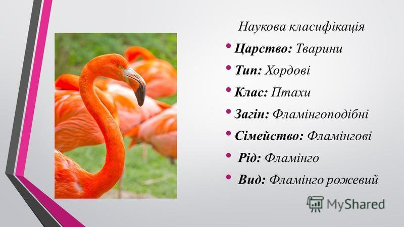 Наукова класифікація Царство: Тварини Тип: Хордові Клас: Птахи Загін: Фламінгоподібні Сімейство: Фламінгові Рід: Фламінго Вид: Фламінго рожевий