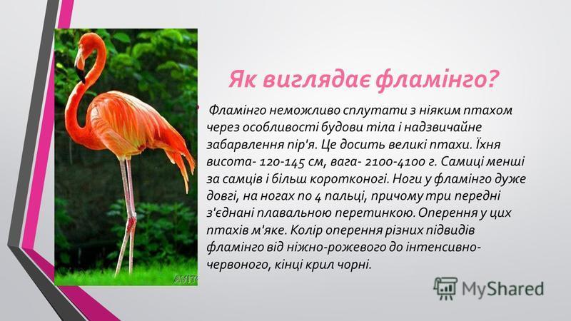 Як виглядає фламінго? Фламінго неможливо сплутати з ніяким птахом через особливості будови тіла і надзвичайне забарвлення пір'я. Це досить великі птахи. Їхня висота- 120-145 см, вага- 2100-4100 г. Самиці менші за самців і бiльш коротконогі. Ноги у фл