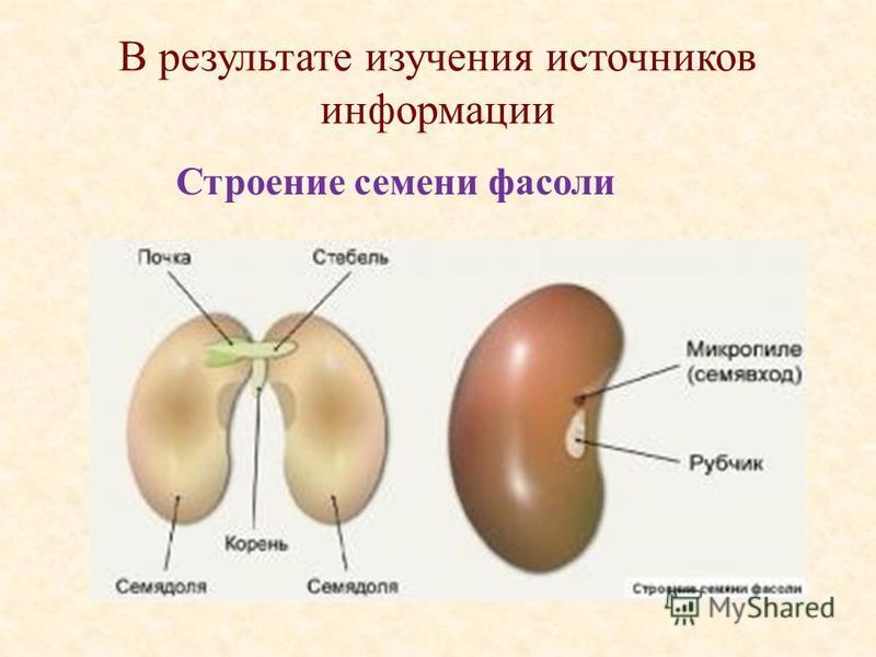 В результате изучения источников информации Строение семени фасоли