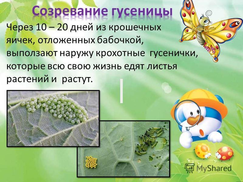 Через 10 – 20 дней из крошечных яичек, отложенных бабочкой, выползают наружу крохотные гусенички, которые всю свою жизнь едят листья растений и растут.