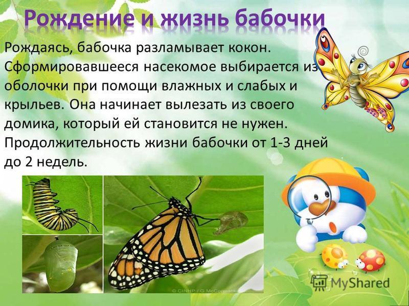Рождаясь, бабочка разламывает кокон. Сформировавшееся насекомое выбирается из оболочки при помощи влажных и слабых и крыльев. Она начинает вылезать из своего домика, который ей становится не нужен. Продолжительность жизни бабочки от 1-3 дней до 2 нед