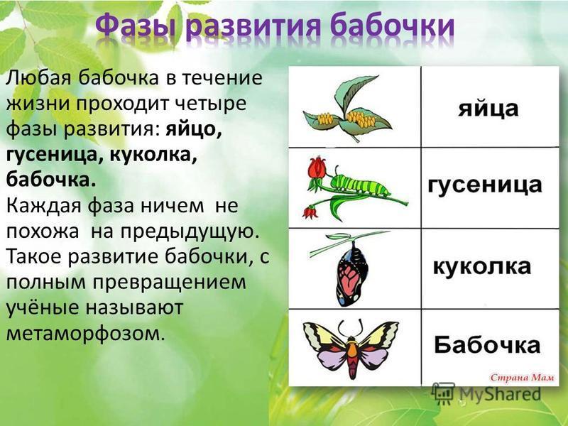 Любая бабочка в течение жизни проходит четыре фазы развития: яйцо, гусеница, куколка, бабочка. Каждая фаза ничем не похожа на предыдущую. Такое развитие бабочки, с полным превращением учёные называют метаморфозом.