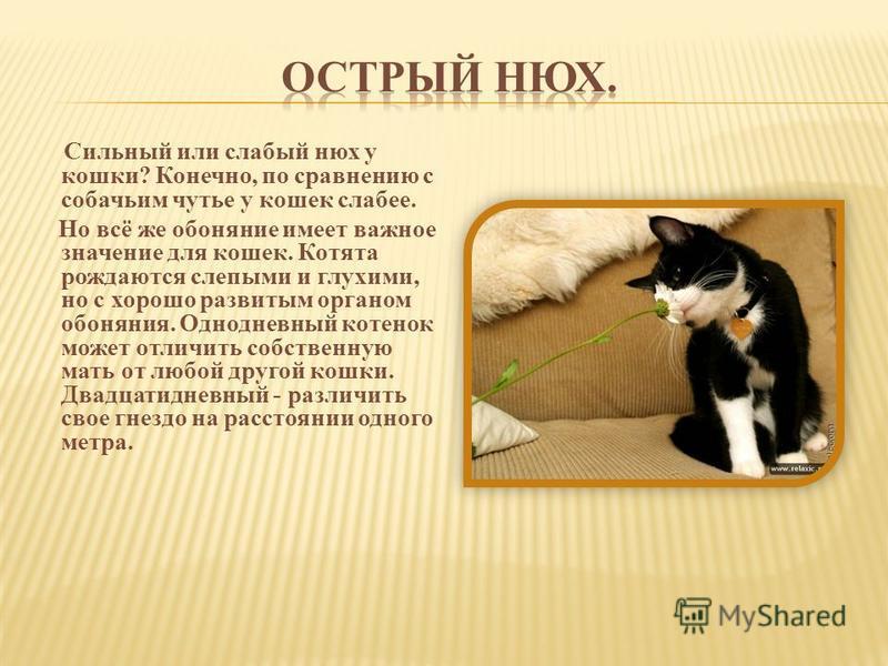 Сильный или слабый нюх у кошки? Конечно, по сравнению с собачьим чутье у кошек слабее. Но всё же обоняние имеет важное значение для кошек. Котята рождаются слепыми и глухими, но с хорошо развитым органом обоняния. Однодневный котенок может отличить с