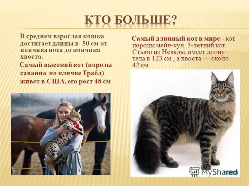В среднем взрослая кошка достигает длины в 50 см от кончика носа до кончика хвоста. Самый высокий кот (породы саванна по кличке Трабл) живет в США, его рост 48 см Самый длинный кот в мире - кот породы м 5-летний кот Стьюи из Невады, имеет длину тела