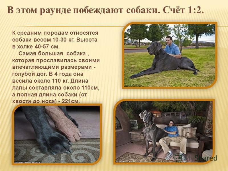 К средним породам относятся собаки весом 10-30 кг. Высота в холке 40-57 см. Самая большая собака, которая прославилась своими впечатляющими размерами - голубой дог. В 4 года она весила около 110 кг. Длина лапы составляла около 110 см, а полная длина