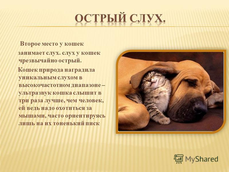 Второе место у кошек занимает слух. слух у кошек чрезвычайно острый. Кошек природа наградила уникальным слухом в высокочастотном диапазоне – ультразвук кошка слышит в три раза лучше, чем человек, ей ведь надо охотиться за мышами, часто ориентируясь л