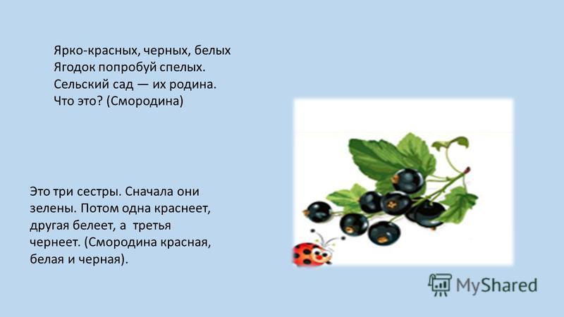 Ярко-красных, черных, белых Ягодок попробуй спелых. Сельский сад их родина. Что это? (Смородина) Это три сестры. Сначала они зелены. Потом одна краснеет, другая белеет, а третья чернеет. (Смородина красная, белая и черная).