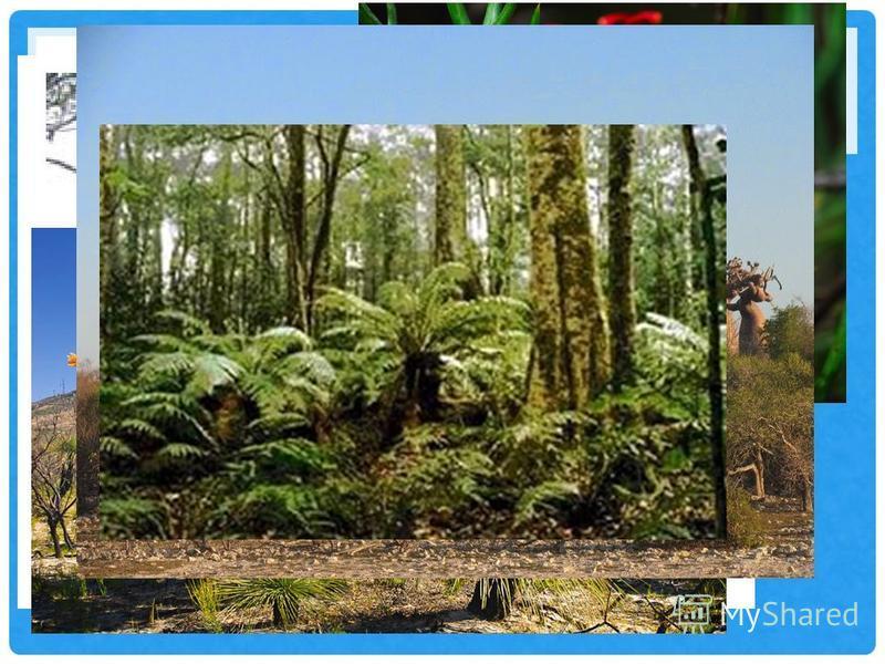 ФЛОРА АВСТРАЛИИ Кроме типичных для Австралии эвкалиптов, на острове произрастает значительное число видов деревьев, родственных новозеландским и южноамериканским, в частности вечнозелёный южный бук Кроме типичных для Австралии эвкалиптов, на острове