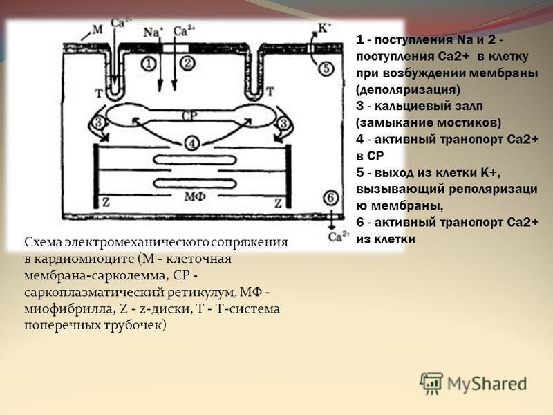 1 - поступления Nа и 2 - поступления Са 2+ в клетку при возбуждении мембраны (деполяризация) 3 - кальциевый залп (замыкание мостиков) 4 - активный транспорт Са 2+ в СР 5 - выход из клетки К+, вызывающий реполяризации ю мембраны, 6 - активный транспор