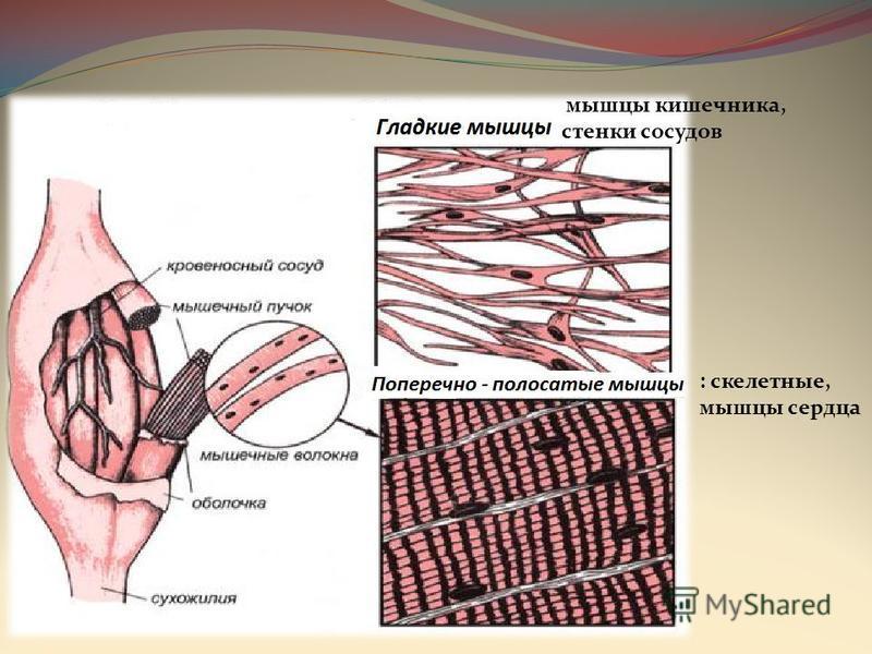 мышцы кишечника, стенки сосудов : скелетные, мышцы сердца