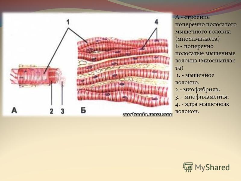 А - строение поперечно полосатого мышечного волокна (миосимпластта) Б - поперечно полосатые мышечные волокна (миосимпласт та) 1. - мышечное волокно. 2.- миофибрилла. 3. - миофиламенты. 4. - ядра мышечных волокон.